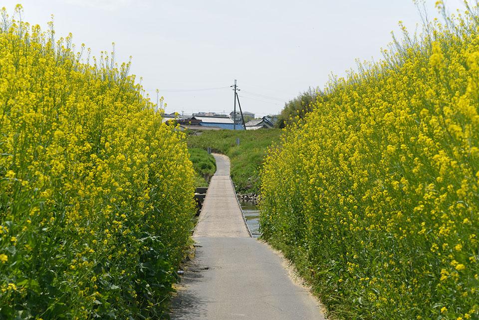 大和川の菜の花と沈下橋