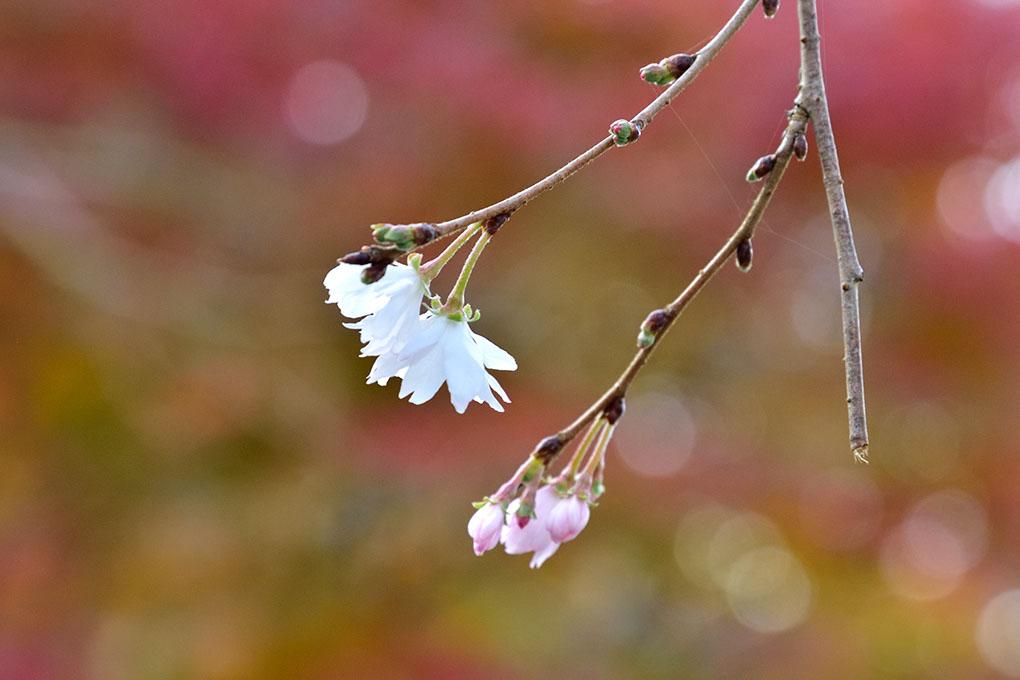 當麻寺の十月桜