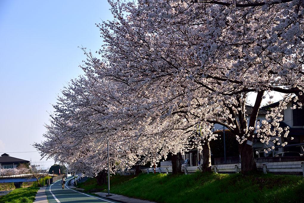 富雄川の桜