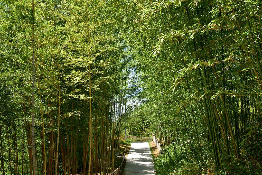 高山の竹林