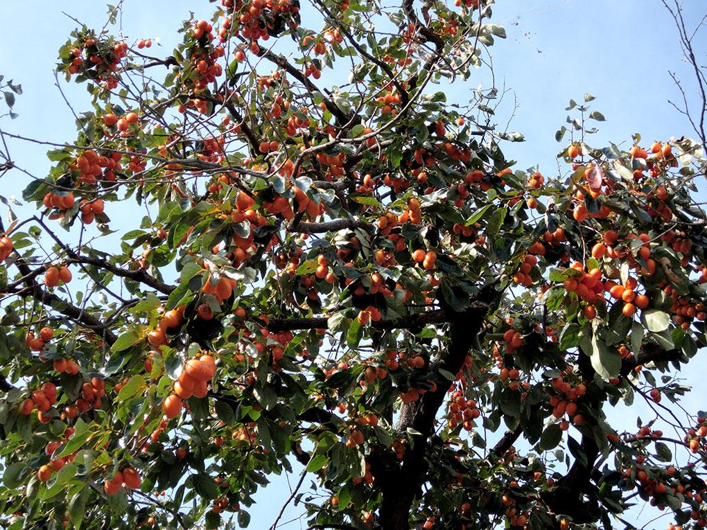 大和路の柿