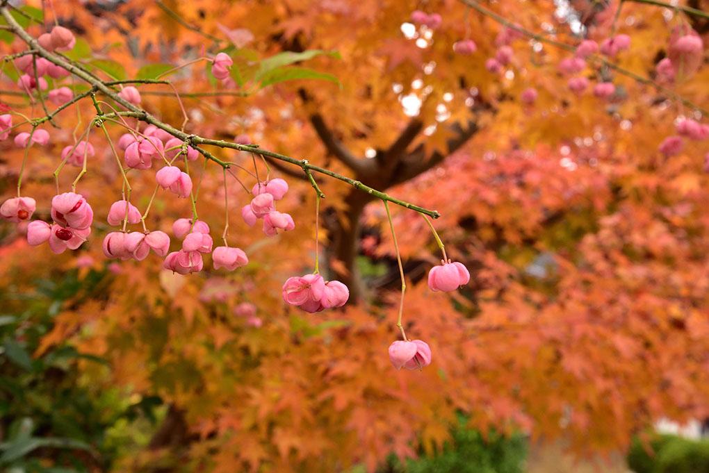 橘寺の紅葉