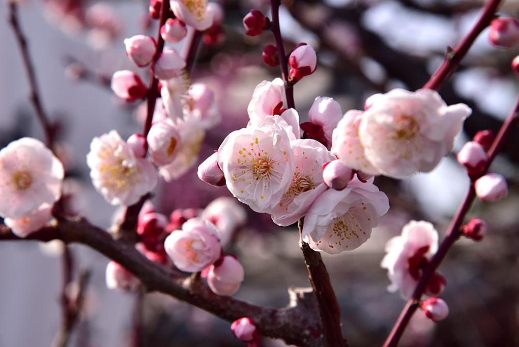 菅原天満宮の梅の花