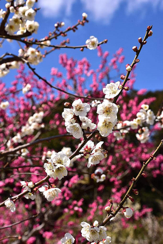 明日香村の梅の花