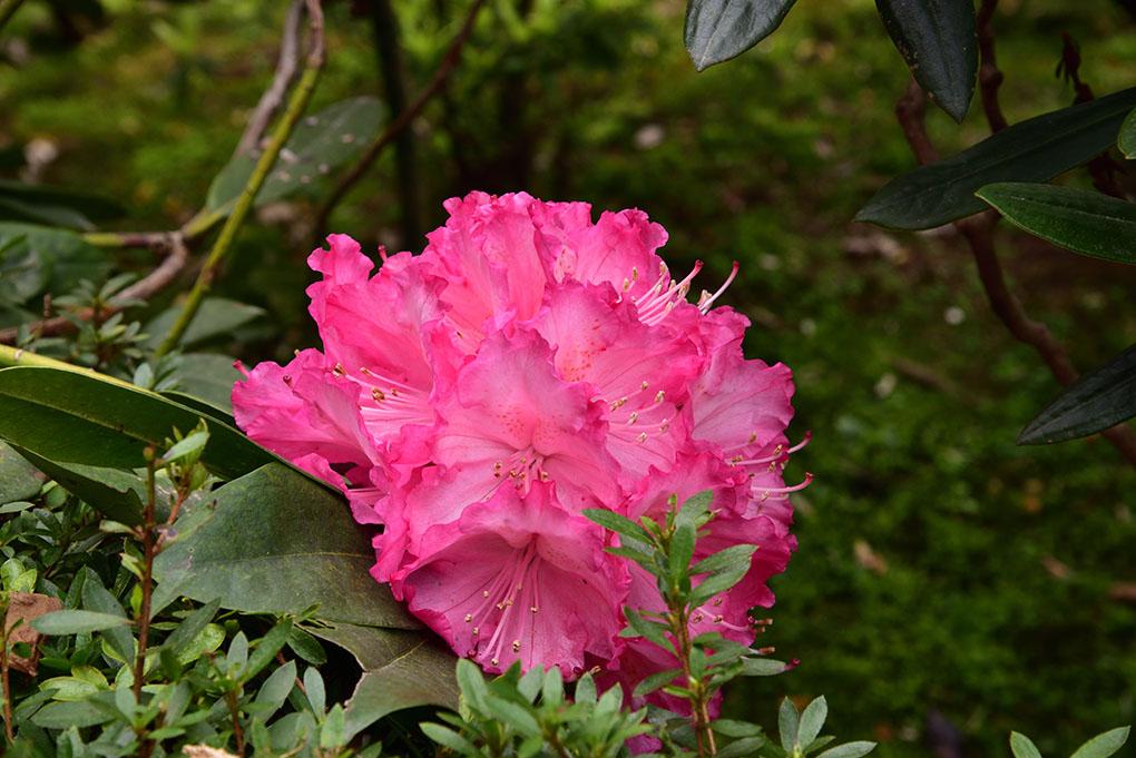 當麻寺西南院の石楠花