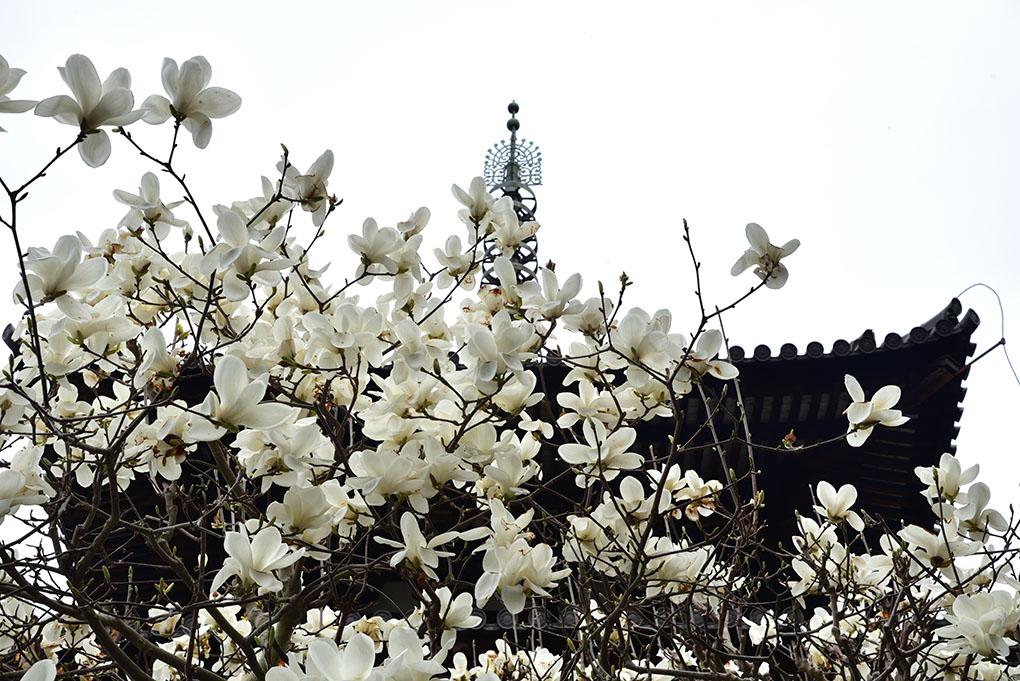 當麻寺西南院の木蓮