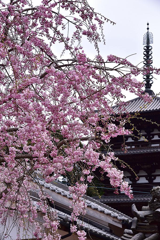 當麻寺西南院の桜