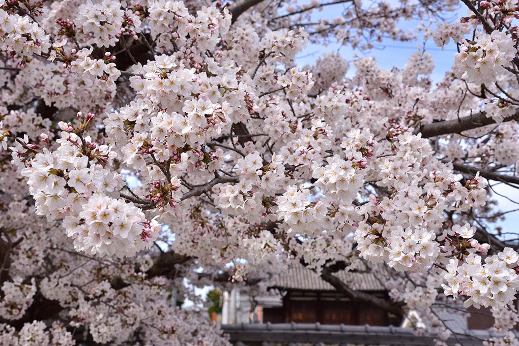 當麻寺の桜