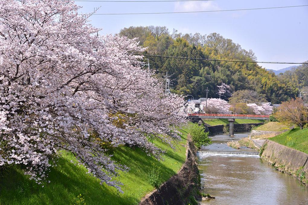 竜田川の桜