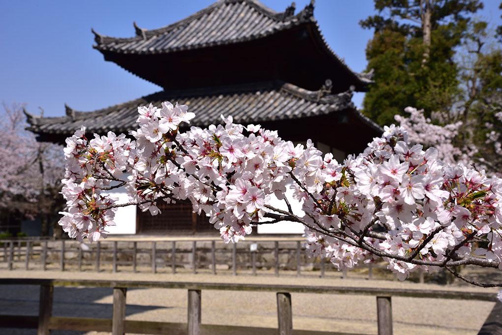 法輪寺の桜