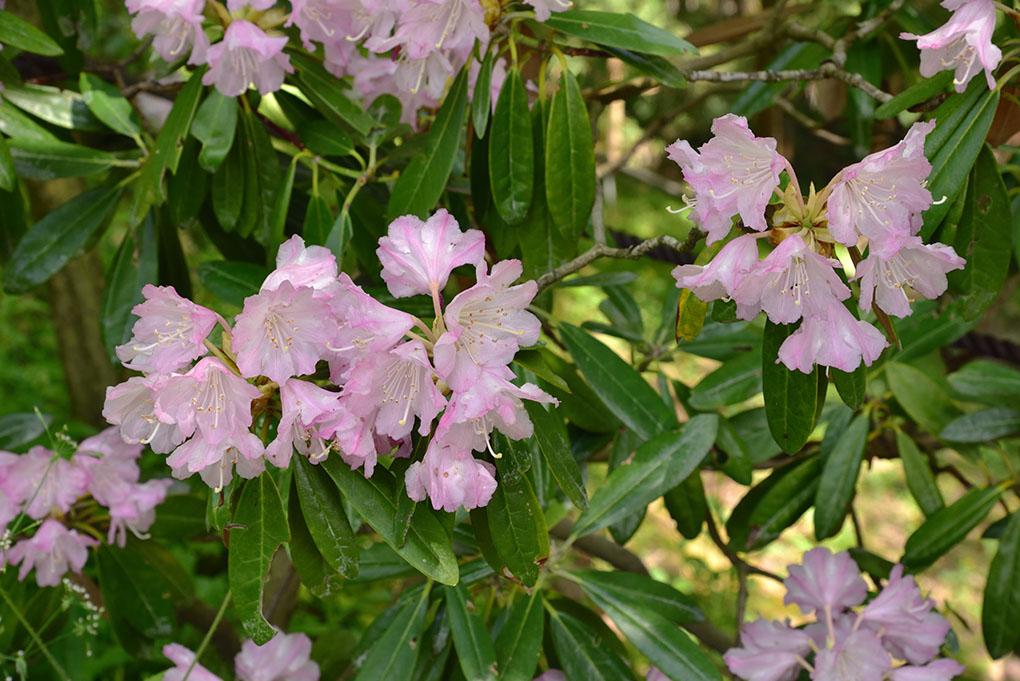 岡寺の石楠花