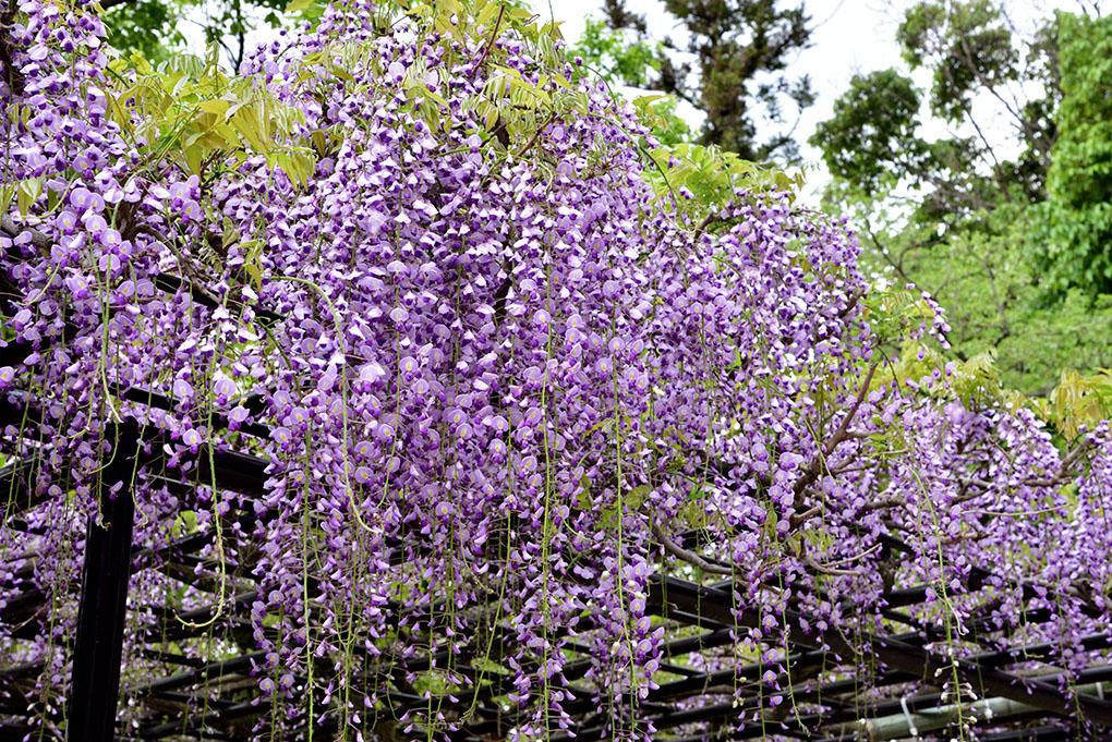 西大寺の藤棚