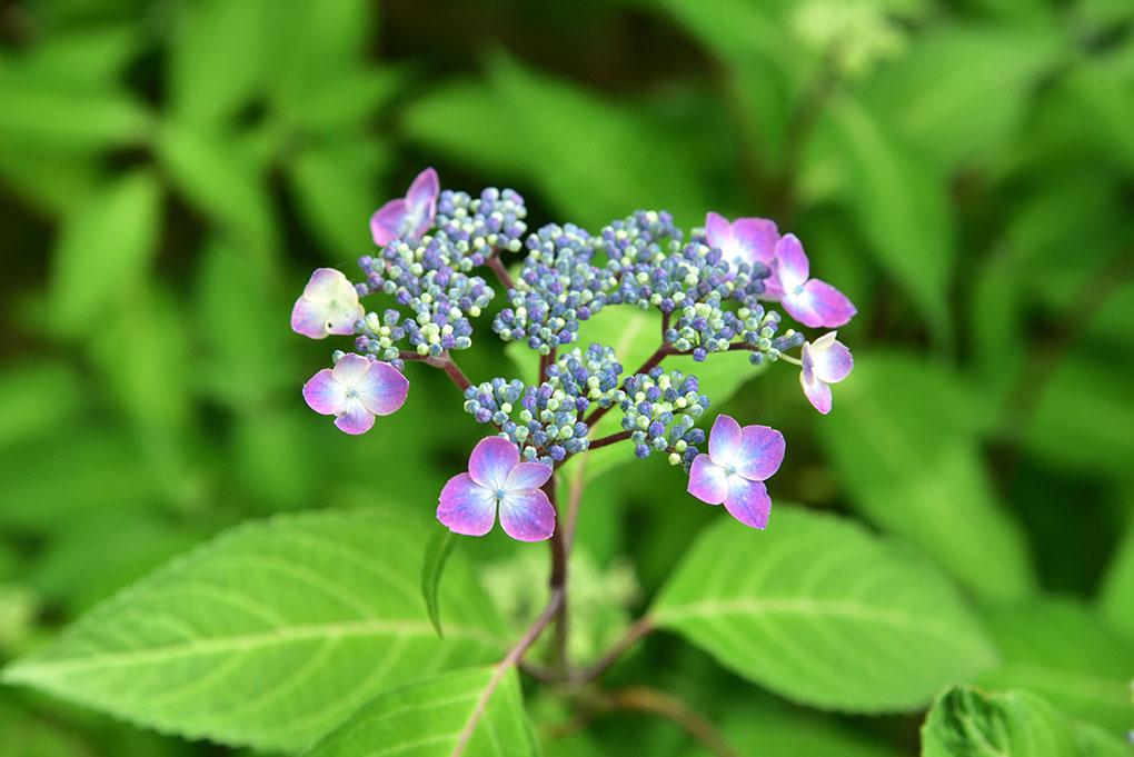 白毫寺の額紫陽花