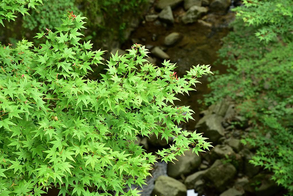 正暦寺の楓
