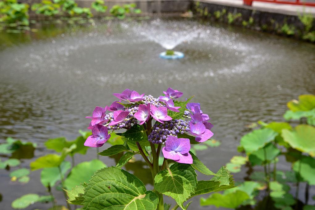長弓寺の紫陽花