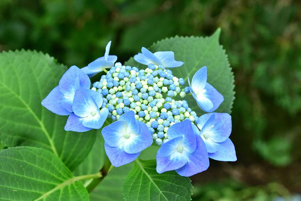 當麻寺の額紫陽花