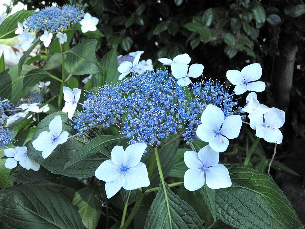 庵治町の額紫陽花