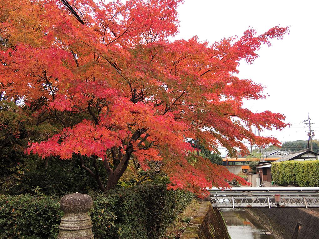 孫太郎稲荷神社の楓