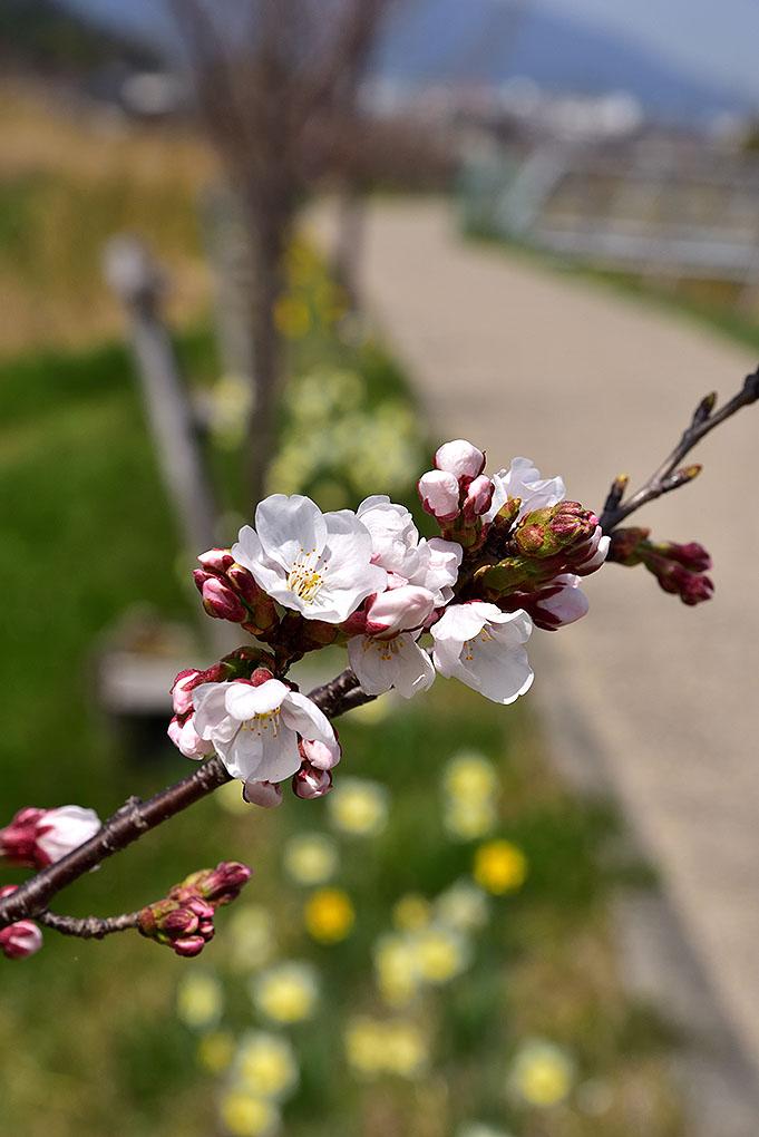 葛下川の桜