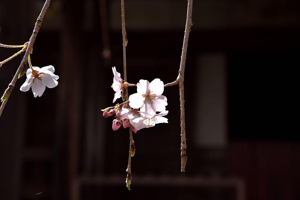 専称寺の尋源桜