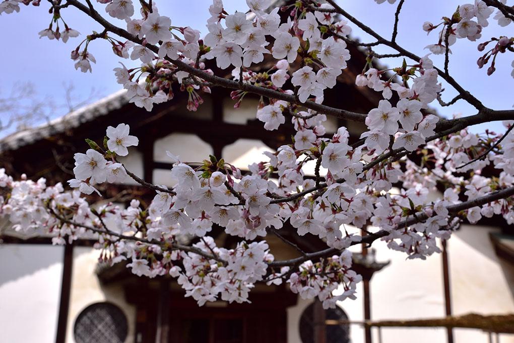 當麻寺奥院の桜