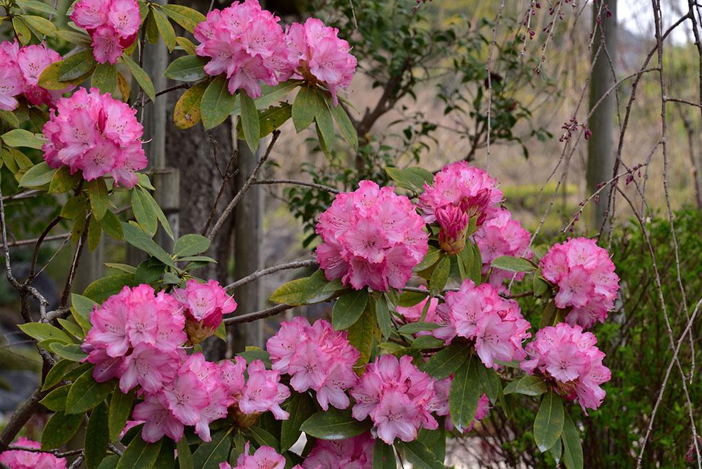 當麻寺奥院の石楠花