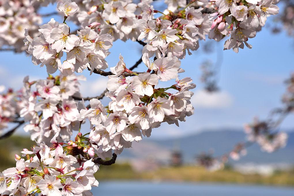 奈良医療センターの桜