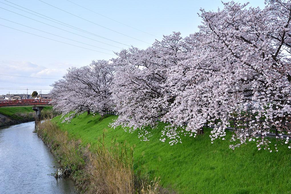 秋篠川の桜