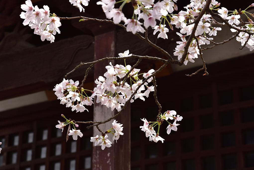 帯解寺と桜
