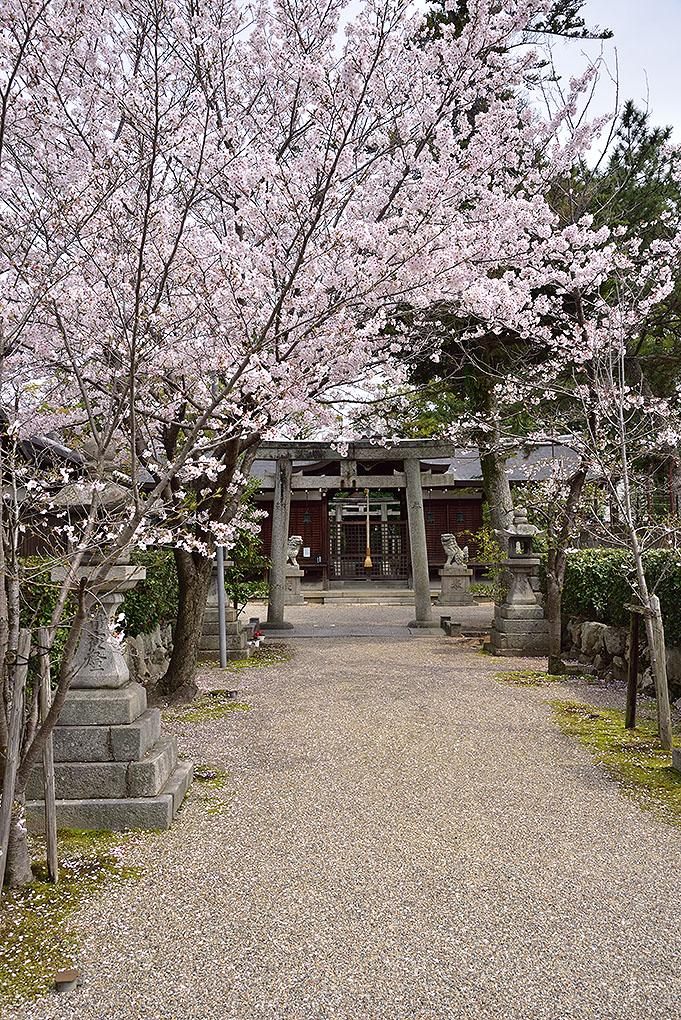 市座神社の桜