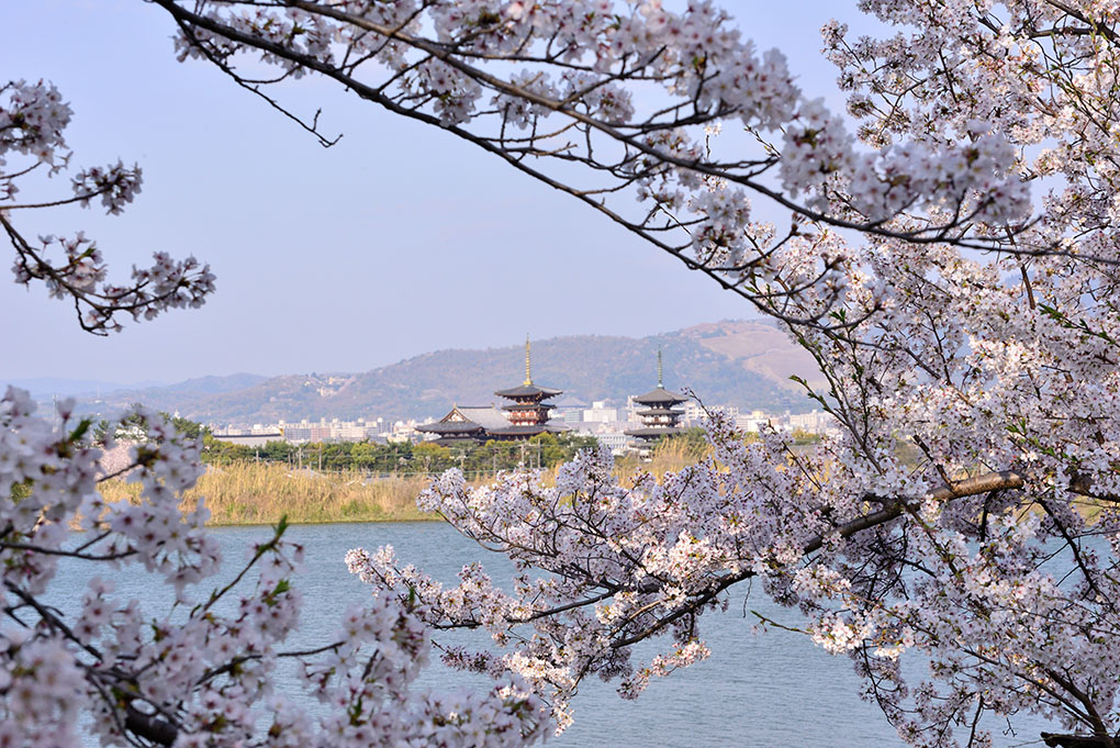 薬師寺と桜