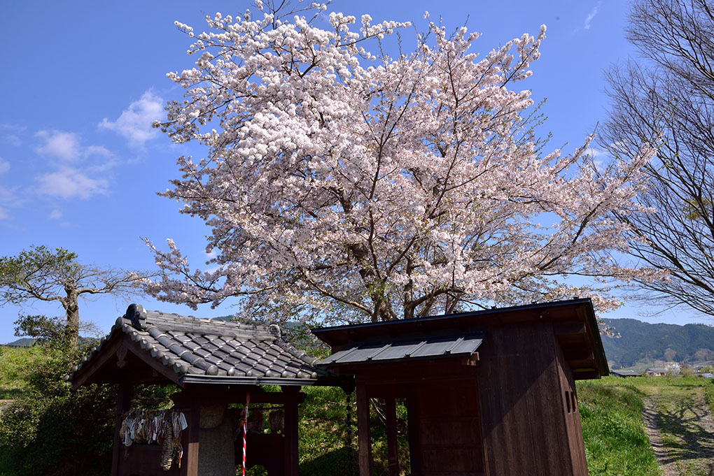 弥勒石と桜