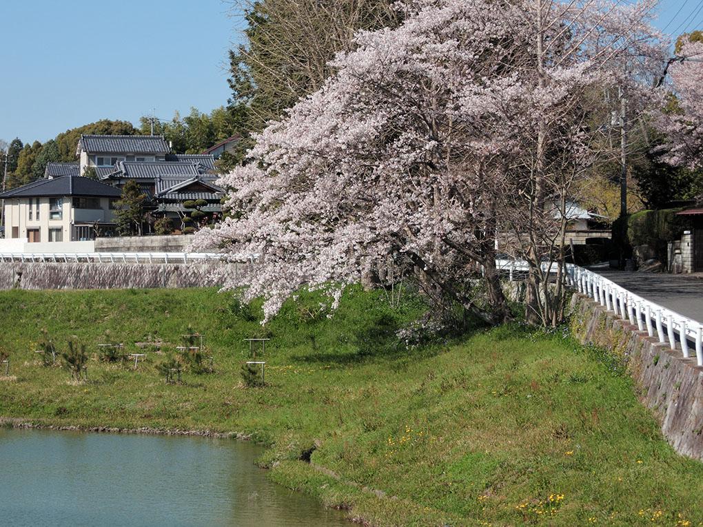 神功皇后陵の桜