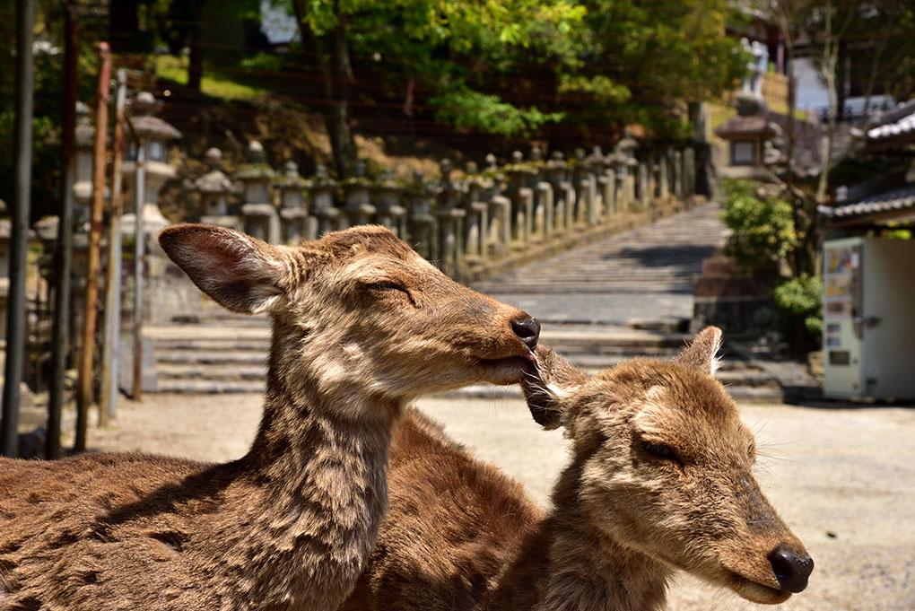 東大寺の鹿たち