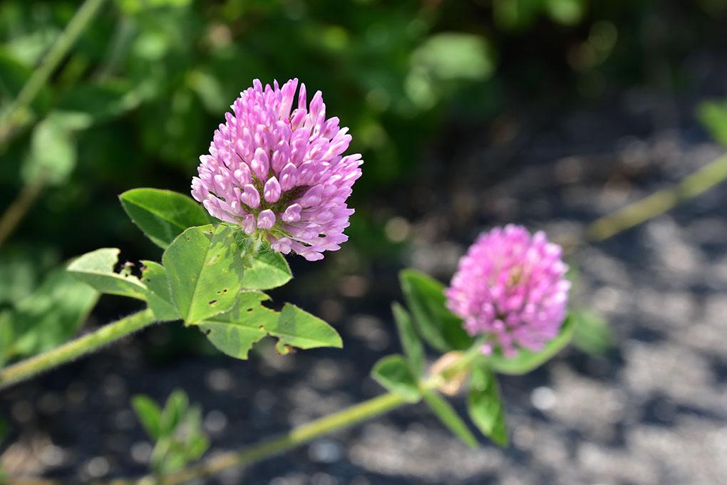 佐保川の紫詰草