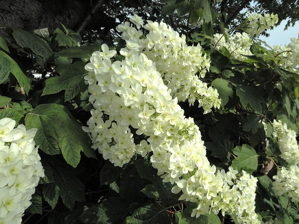 寺川の紫陽花