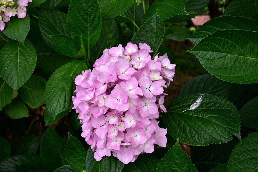 紀氏神社の紫陽花