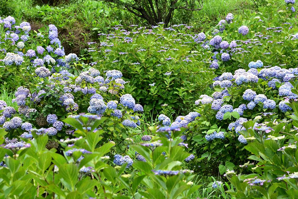 明日香村の紫陽花