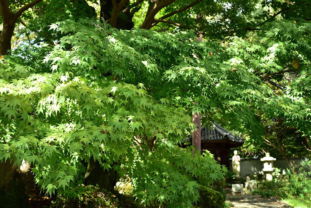 當麻寺奥院の楓