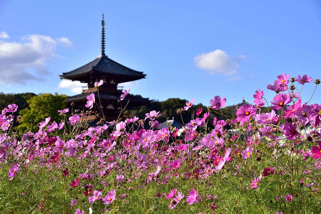 法起寺の秋桜